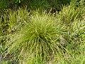 Carex paniculata plant (29).jpg