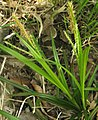 Carex sylvatica plant (17).jpg