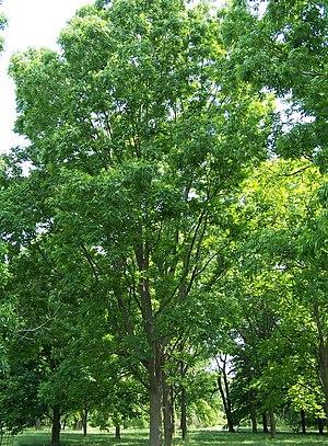 Pecan - Image: Carya illinoinensis