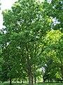 Carya illinoinensis.jpg