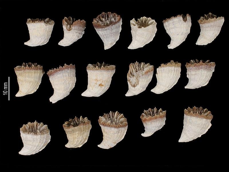 File:Caryophyllia unicristata (MNHN-IK-2009-1682) 002.jpeg