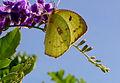 Catopsilia pomona - Orange Emigrant.jpg
