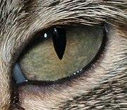 Gros plan sur l'œil d'un chat