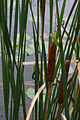 Cattails, Muskegon (8741972462).jpg