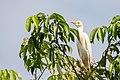Cattle Egret Garcita Reznera (Bubulcus ibis) (23719696063).jpg
