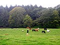 Cattle and Sheep Near Birset - geograph.org.uk - 565155.jpg
