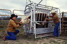 temple grandin squeeze machine for cattle