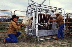 A cow being inspected for ticks; cattle are often restrained or confined in Cattle crushes when given medical attention.