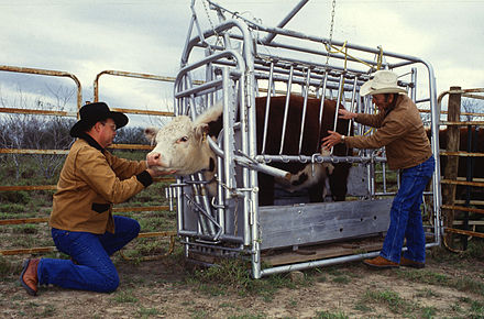 This Hereford is being inspected for ticks. Cattle are often restrained or confined in cattle crushes (squeeze chutes) when given medical attention. Cattle inspected for ticks.jpg