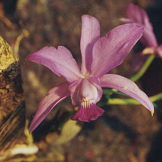 <i>Cattleya walkeriana</i> species of plant