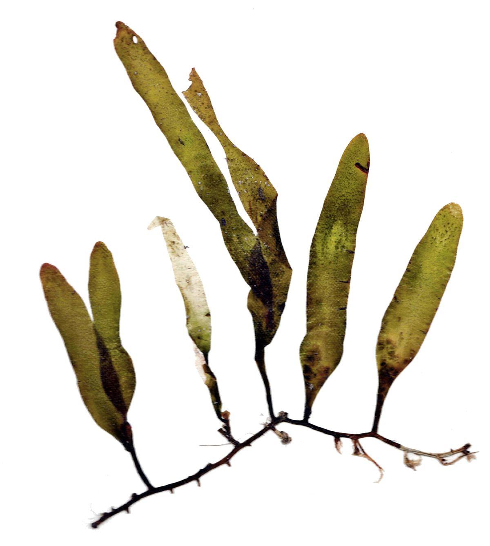 Caulerpa - WikipediaV Is For Vegetables