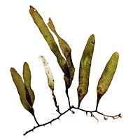 The Caulerpa is a genus of edible Seaweed.