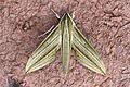 Cechenena lineosa (Sphingidae) (5716808989).jpg