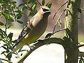 Cedar Waxwing-27527-2.jpg