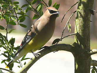 Cedar waxwing - In the branches of a weeping holly tree