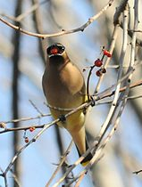 Cedar waxwing eating berry.jpg