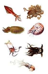 Cephalopoda orders.jpg