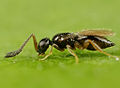 Ceraphonidae.jpg