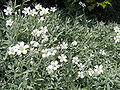 Cerastium tomentosum.jpg