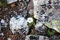 Cerastium undulatifolium 50360098.jpg