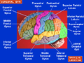 Cerebral Gyri - Lateral Surface.png