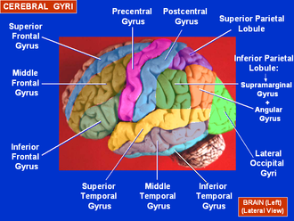 Superior temporal gyrus - Image: Cerebral Gyri Lateral Surface
