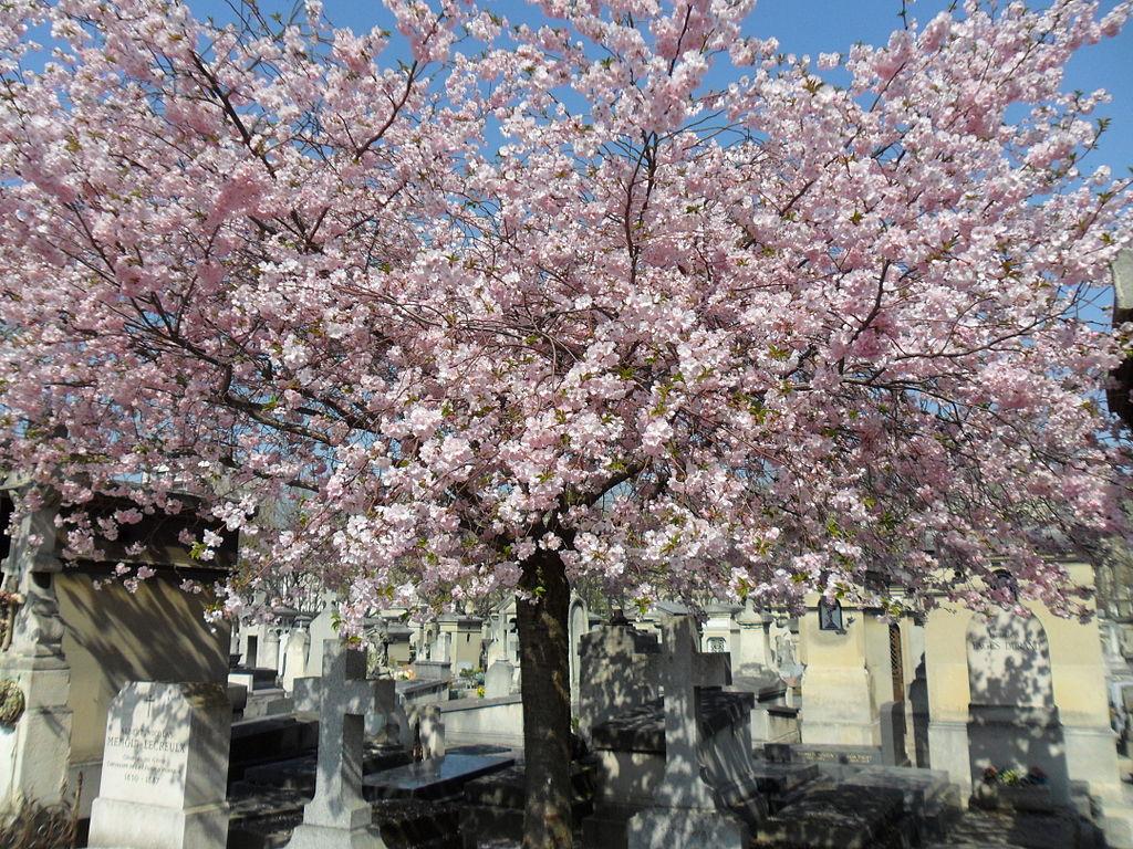 Cerezo en flor en Montparnasse