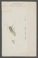 Cerostoma - Print - Iconographia Zoologica - Special Collections University of Amsterdam - UBAINV0274 058 11 0002.tif