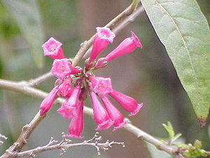 Solanaceae - Cestrum elegans, a cestroidea used as an ornamental
