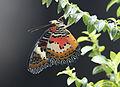 Cethosia cyane - Leopard Lacewing 04.jpg