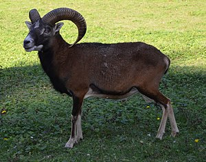 Mouflon, the wild ancestors of sheep