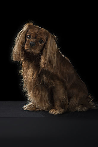 Cavalier King Charles Spaniel - Correct Ruby Cavalier King Charles Spaniel; uniform chestnut colour, with no white markings; ears and slippers are often slightly lighter but dark chestnut colour should predominate