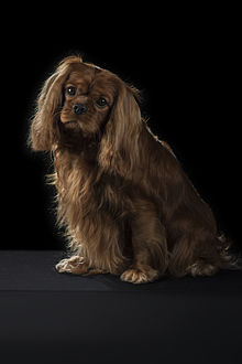 Join. happens. Adult cavalier king charles spaniels for sale