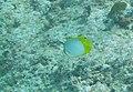 Chaetodon ocellatus - spotfin butterflyfish - Bay of Pigs - Cuba.jpg