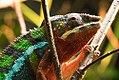 Chameleon (28114025694).jpg