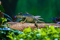 Chameleon in Nehru Zoo Park.jpg