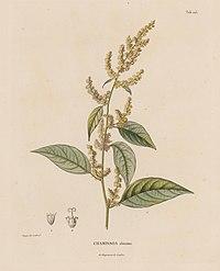 C. altissima