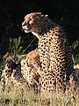 Cheetah, Acinonyx jubatus, at Pilanesberg National Park, Northwest Province, South Africa. (27486901842).jpg