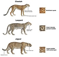 Comparative Ilration Of Jaguar With Leopard And Cheetah