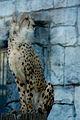 Cheetah (13435158234).jpg
