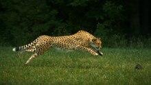 Arquivo: Cheetahs on the Edge (versão do diretor) .ogv