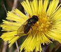 Cheilosia latifrons - urbana - psilophthalma (male) - Flickr - S. Rae.jpg