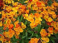 Cheiranthus cheiri L orange bedder dsc00903