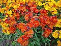 Cheiranthus cheiri L orange bedder dsc00904.jpg