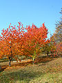 Cherry-trees-in-autumn.jpg