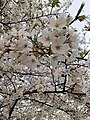 Cherry Blossoms near Library in Huangzhou District, Huanggang, Hubei 4.JPG