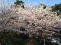 Cherry blossoms in Nishi Park 8.JPG