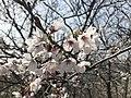 Cherry blossoms in Sasayama Park 23.jpg