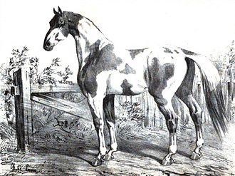 Shaigiya tribe - Dongola horse