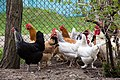 Chickens in Ubezhenskaya, Russia.jpg